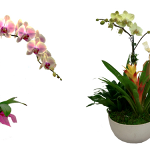 Give an Orchid from Selby Gardens